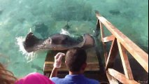 Stingray jumps onto ramp for a treat