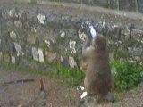 Monkey drinking pepsi or coca cola in  Ayubia  20 July 2015 AP7200128