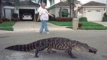 Les alligators de Floride