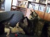 Deux huskies rencontrent le nouveau membre de leur famille, et c'est particulièrement ADORABLE, regardez donc !