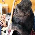 Questo video dimostra che i gorilla possono fare le stesse cose degli esseri umani!