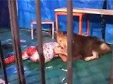 Circus Lion Attacks Man