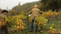 """Plantation de cépages """"interdits"""" à la vigne d'Yvandeau"""