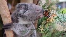 Adorable : sublime moment entre un papillon et un bébé koala