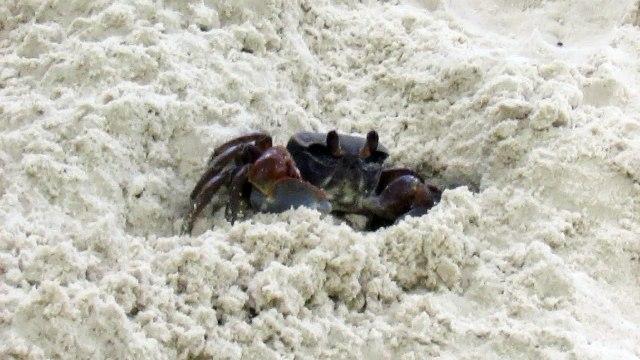 Crabe terrestre des Seychelles 2016