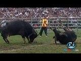 Buffalo Fight Fest. Chọi Trâu Bắc Ninh: Hạ đo ván đối thủ cực nhanh