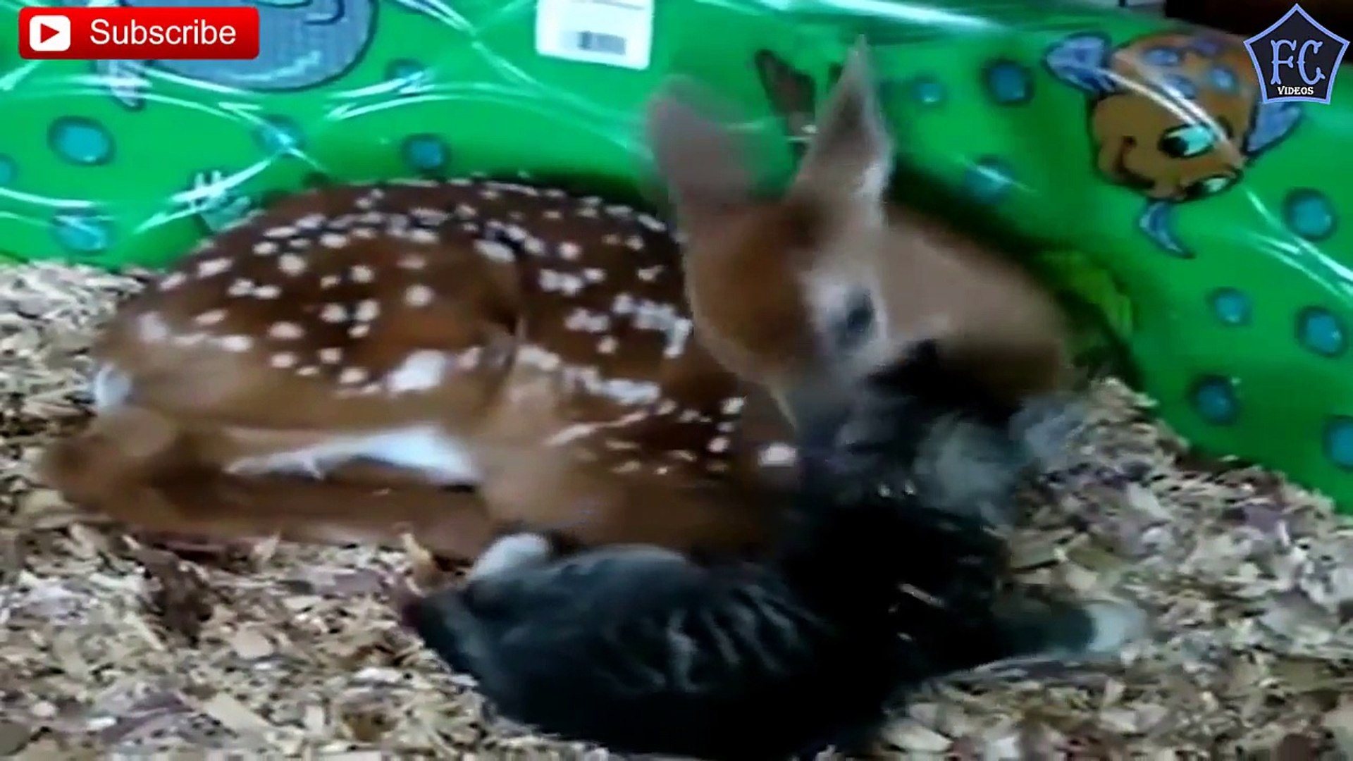 Unbelievable Unlikely Animal Friendships Compilation