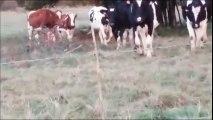Un marcassin au milieu d'un troupeau de vaches