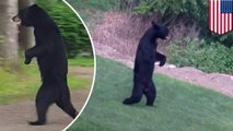 Viral bear 'Pedals' will no longer charm us by walking around on two legs. Because someone shot him