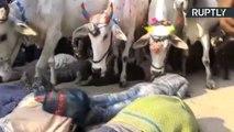 Cows Trample Hindu Worshippers in Centuries Old Ritual