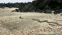 Baby Iguana being chased by snakes (FULL)