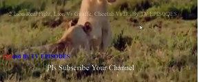 2 Lion Real Fight, Lion Vs Giraffe, Cheetah Vs Deer Part 1 - Craziest Animal Fights Caught On Camera