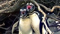 Il surprend sa femme avec un autre : la violente bagarre de pingouins qui va vous choquer