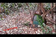 Best bird trap[أفضل فخ الطيور] - Traping birds used cage trap simple and easy to catch it