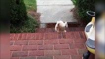 Ce chiot n'a pas encore la notion de distance : fail douloureux dans les escaliers