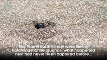 Iguana vs Snakes - Behind the Scenes - Planet Earth II