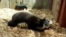 Der Tiger Cub und der Teddybär Spaß beim spielen im Zoo. Lustige Tiere.