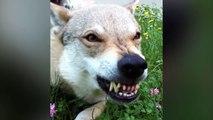 10 Gefährlichste Hunderassen der Welt