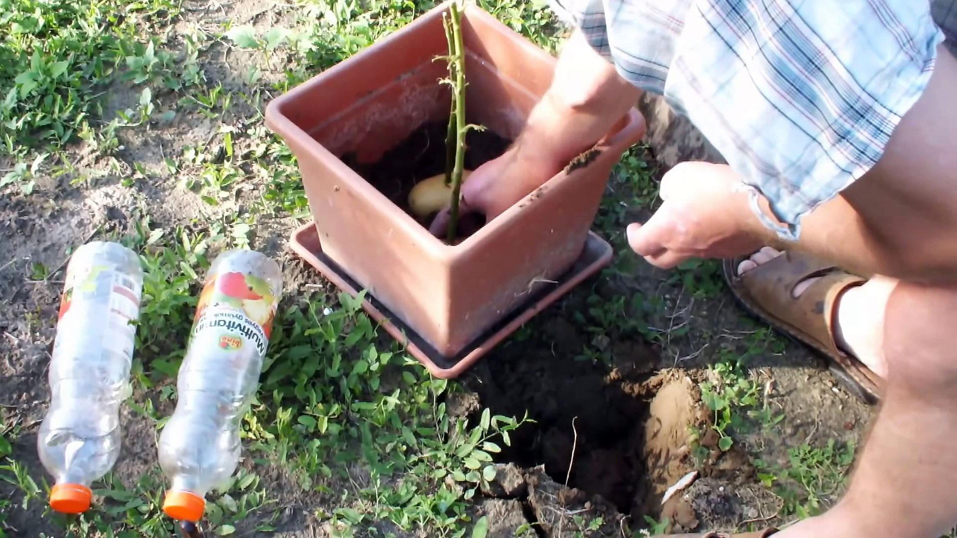 Faire Un Rosier Avec Une Rose il pique une rose dans une pomme de terre! une semaine plus tard, ce qui  pousse vous épatera!