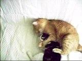 Bataille de chats fous