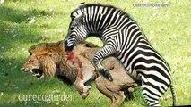 Animals Attacks On Lion Buffalo vs Lion vs zebra Animal attack Prey Fight back