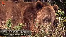BEAR SCARE! - Grizzly with Cubs - daily motion