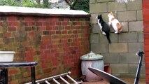 2 chats sautent en même temps... et atterrissent l'un sur l'autre