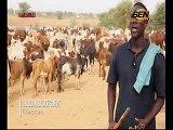 Vidéo- Cheikh Béthio Thioune en route vers le Magal : convoie des milliers de bœufs vers Touba