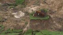 Des vaches coincées sur un îlot d'herbe après le séisme en Nouvelle-Zélande