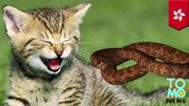 Ular Phyton ditemukan di dapur memakan anak kucing liar - Tomonews