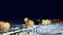 Chine : 160 000 moutons sauvés d'une tempête de neige au cours d'une spectaculaire opération