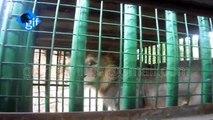 UNBELIEVABLE PERILOUS VIDEO 17 dangerous man eater Asiatic lions arrested by Gir forest department