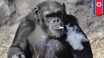 담배 피우는 호랑이? 우리 동물원엔 담배 피우는 침팬지!
