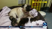 Dog adopts 3 abandoned kittens in London