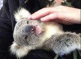 Un koala se prélasse dans les bras de son maitre adoptif