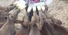 Eight Orphaned Kangaroo Joeys Enjoying Milk Bottles From Surrogate Mother