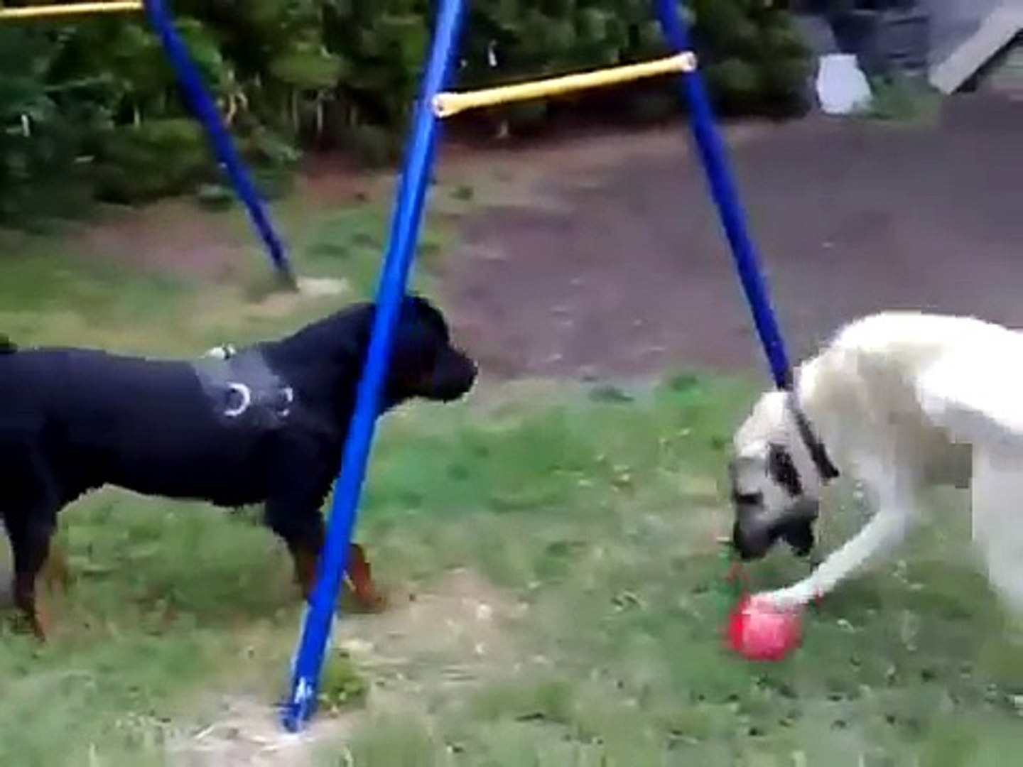Rottweiler Ve Kangal Dailymotion Video