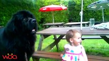 Baby loves Newfoundland Dog so they are happy together - Dog loves Baby Compilation