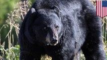 Woman survives Maryland's first bear attacks in decades after punching it in the face, then playing dead