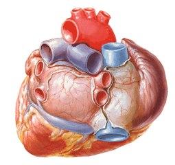 Las bradicardias y las taquicardias del corazón