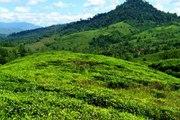 A Beautiful Tea Garden In Srimongal- Sylhet, Bangladesh