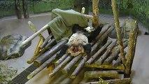 Toronto Zoo Giant Panda Da Mao Plays With Blanket