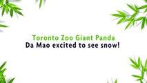 Toronto Zoo Giant Panda Da Mao Bear-Bogganning