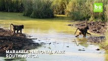 Funny Bouncing Baboons Make River Crossing: CUTE AS FLUFF