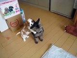 Ce chat est sauvagement attaqué par un chiot très joueur - et il réagit d'une manière inattendue