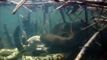 Giant Anaconda vs Felidae - Python vs Lion - Anaconda vs Cat - Anaconda vs Jaguar - Python vs Tiger