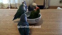 Chacune leur tour, ces perruches se baignent dans un bol... Adorable