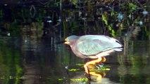Beautiful Green Heron in HD ! Nature Minnesota Travel Minnesota Parks and Lakes !