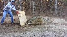 Il sauve un loup sauvage qui a sa patte prise dans un piège.