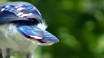 Slow Motion Bluejay Eating ! Nature Minnesota Travel Minnesota Parks and Lakes !